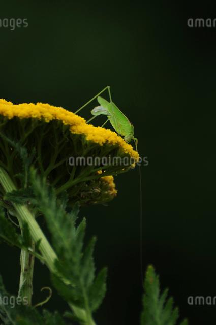 セスジツユムシの写真素材 [FYI01540686]
