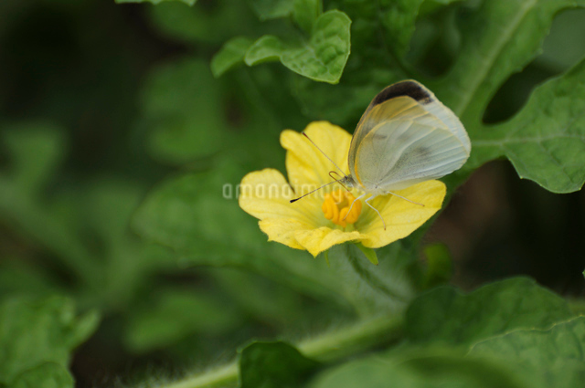 スイカの花の蜜を吸うモンシロチョウの写真素材 [FYI01540688]