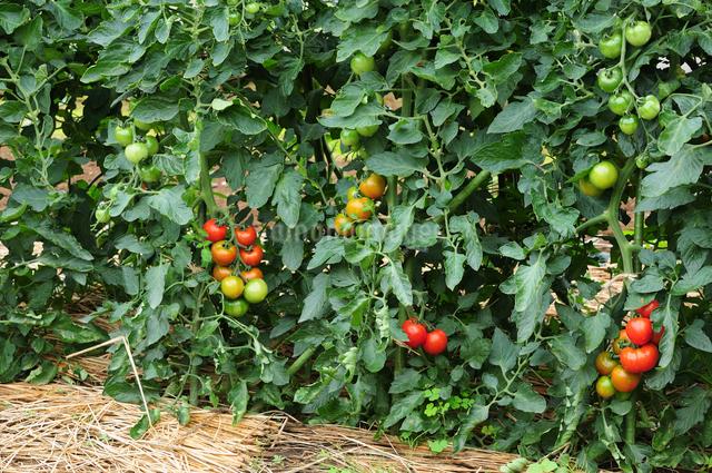 フルーツトマトの写真素材 [FYI01541061]