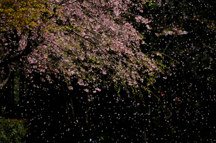 しだれ桜の花吹雪の写真素材 [FYI01541863]