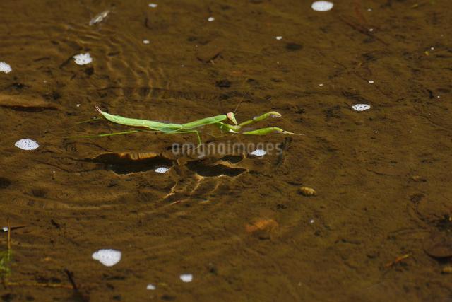 水面を泳ぐカマキリの写真素材 [FYI01542266]