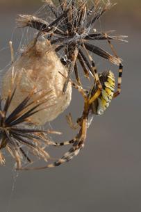 卵のうを守るジョロウグモの写真素材 [FYI01542858]