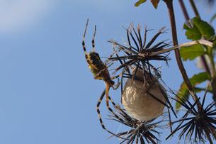 卵のうを守るジョロウグモの写真素材 [FYI01542953]