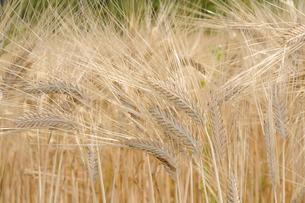 大麦の栽培の写真素材 [FYI01543013]
