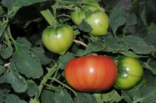 トマトのハウス栽培の写真素材 [FYI01543194]