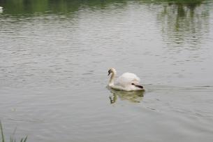 昆陽池と鳥たちの写真素材 [FYI01543551]