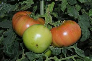 トマトのハウス栽培の写真素材 [FYI01543586]