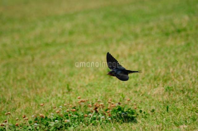 ツバメの飛行の写真素材 [FYI01543764]