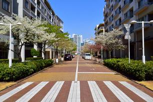 桜並木と幕張ベイタウンの写真素材 [FYI01544066]