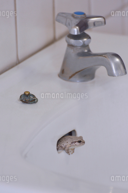 流し場のアマガエルの写真素材 [FYI01544274]