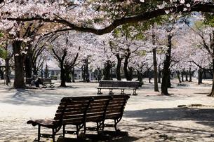 尼崎西武庫公園桜の風景の写真素材 [FYI01544365]