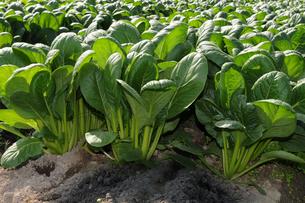 小松菜の栽培の写真素材 [FYI01544465]
