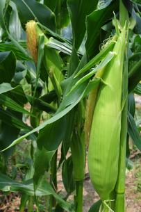 トウモロコシの栽培の写真素材 [FYI01544792]