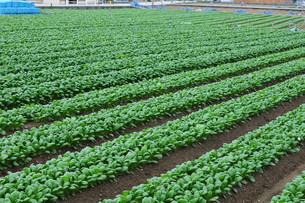 小松菜の栽培の写真素材 [FYI01544855]