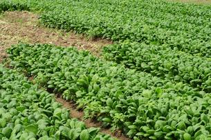 小松菜の栽培の写真素材 [FYI01544893]
