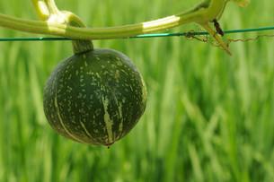 かぼちゃの栽培の写真素材 [FYI01544913]