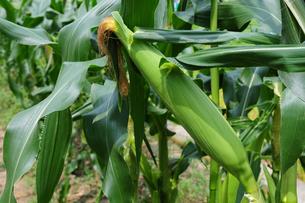 トウモロコシの栽培の写真素材 [FYI01544936]