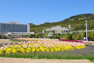 淡路島国営明石海峡公園チュ-リップ 畑の写真素材 [FYI01544940]
