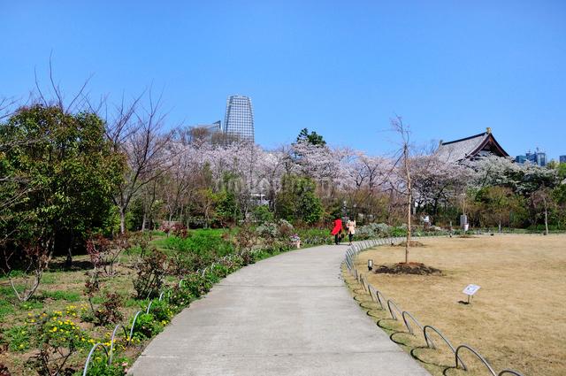 芝公園の桜と愛宕,虎の門方面のビルの写真素材 [FYI01545012]