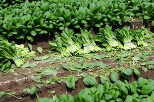 小松菜の栽培の写真素材 [FYI01545117]