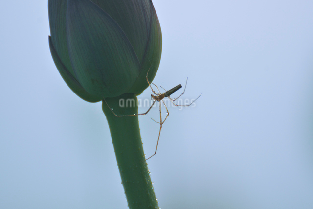 クモとハスの蕾の写真素材 [FYI01545563]
