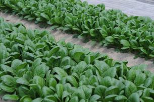 小松菜栽培の写真素材 [FYI01545750]