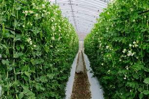 えんどう豆のハウス栽培の写真素材 [FYI01545763]