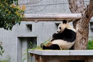 王子動物園パンダの写真素材 [FYI01546085]