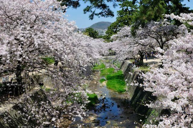 夙川公園の桜の写真素材 [FYI01546134]