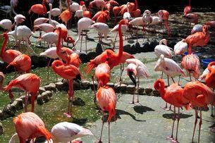 王子動物園のフラミンコの写真素材 [FYI01546344]