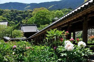 奈良 総本山長谷寺境内のボタンの写真素材 [FYI01546607]
