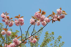 八重桜 蒜山高原の写真素材 [FYI01546610]