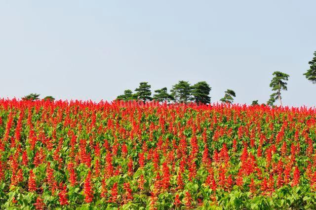 とっとり花回廊 園内花の丘サルビアの花の写真素材 [FYI01546786]