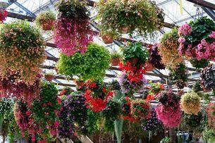 ベゴニアの花の写真素材 [FYI01546796]