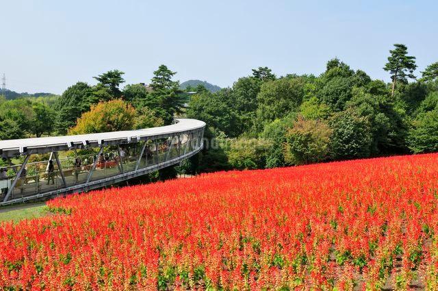 とっとり花回廊 園内花の丘サルビアの花の写真素材 [FYI01546803]