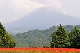とっとり花回廊 園内花の丘サルビアの花と大山の写真素材 [FYI01546844]
