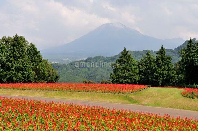 とっとり花回廊 園内花の丘サルビアの花と大山の写真素材 [FYI01546887]