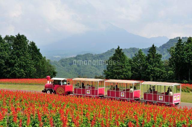 とっとり花回廊 園内花の丘を走るフラワートレインの写真素材 [FYI01546913]
