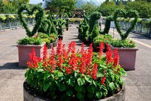 とっとり花回廊 園内サルビアの花と菊のトピアリーの写真素材 [FYI01546914]