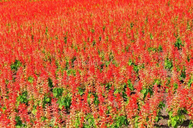 とっとり花回廊 園内花の丘サルビアの花の写真素材 [FYI01546925]