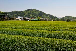 篠山 丹波茶の茶畑の写真素材 [FYI01547015]