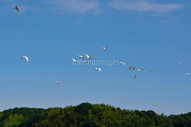 アマサギの飛行の写真素材 [FYI01547110]