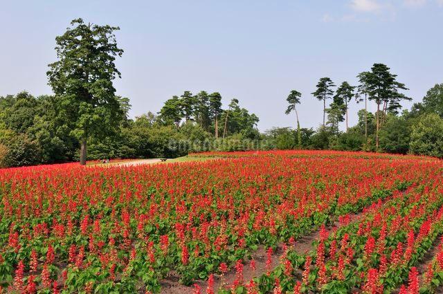 とっとり花回廊 園内花の丘サルビアの花の写真素材 [FYI01547245]