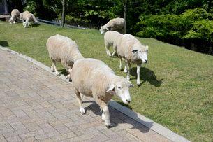 神戸市立六甲山牧場・羊の放牧の写真素材 [FYI01547303]