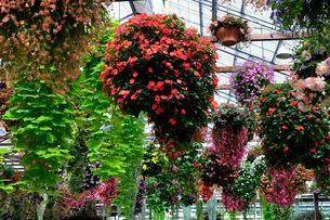 ベゴニアと観葉植物の写真素材 [FYI01547361]