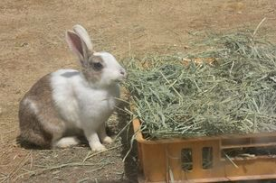 神戸市立六甲山牧場・ウサギの飼育の写真素材 [FYI01547391]