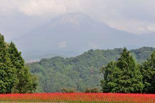 とっとり花回廊 園内花の丘サルビアの花と大山の写真素材 [FYI01547394]