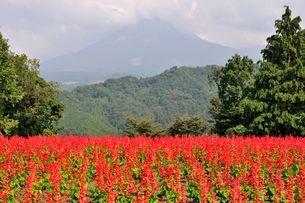 とっとり花回廊 園内花の丘サルビアの花と大山の写真素材 [FYI01547449]