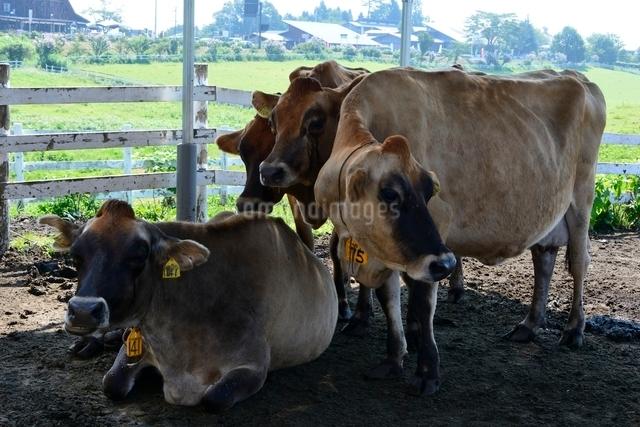 ひるぜんジャージ牛の放牧の写真素材 [FYI01547526]