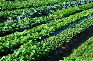 家庭菜園 白菜・大根・ブロッコリーの栽培の写真素材 [FYI01547536]